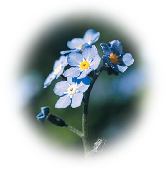 http://www.flowersociety.org/images/forget-me-not.jpg